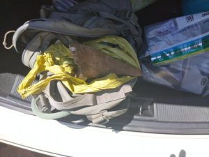 TWO SUSPECTS APPREHENDED FOR ILLEGAL POSSESSION AND TRANSPORTATION OF RHINO HORN
