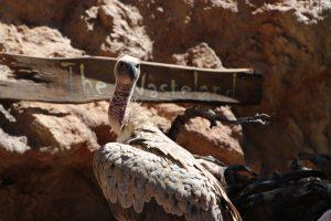 vulture-culture